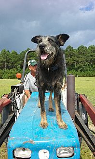 Airedale Terrier/Schnauzer (Standard) Mix Dog for adoption in Bolivia, North Carolina - ROUX (ROO)