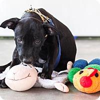 Adopt A Pet :: Smudge - Victoria, BC
