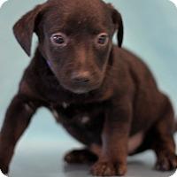 Adopt A Pet :: Panther - Waldorf, MD