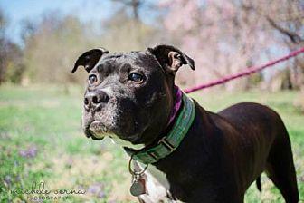 Terrier (Unknown Type, Medium)/Terrier (Unknown Type, Medium) Mix Dog for adoption in St. Louis, Missouri - Boone