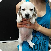 Adopt A Pet :: Dapper Pauly Peiner - Mission, KS