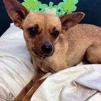 Adopt A Pet :: Vanna(PAWS) - Brownwood, TX