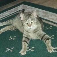 Domestic Shorthair/Domestic Shorthair Mix Cat for adoption in Oswego, New York - Mia Mihalek