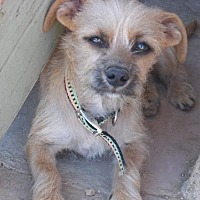 Adopt A Pet :: Boboli-see his look-a-like Lilly! - Apple Valley, CA