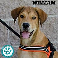 Adopt A Pet :: William - Kimberton, PA