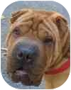 Shar Pei Puppy for adoption in Eatontown, New Jersey - Hooch