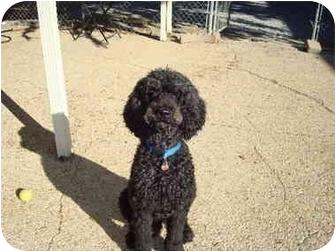 Poodle (Standard) Dog for adoption in Baton Rouge, Louisiana - Hagrid