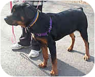 Rottweiler Dog for adoption in Beacon, New York - Roxie