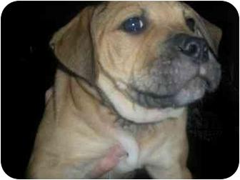 Boxer/Labrador Retriever Mix Puppy for adoption in Kingwood, Texas - Bear1