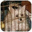 Photo 3 - Chinese Crested/Silky Terrier Mix Dog for adoption in Lakewood, Colorado - Lily