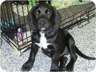 Labrador Retriever/Hound (Unknown Type) Mix Puppy for adoption in Washington, Pennsylvania - Diesel