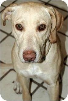 Labrador Retriever Dog for adoption in Phoenix, Arizona - Lady