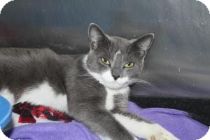 Domestic Shorthair Cat for adoption in North Branford, Connecticut - Maxine
