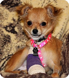 Chihuahua Puppy for adoption in Lynnwood, Washington - Cricket