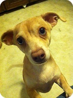 Dachshund/Chihuahua Mix Dog for adoption in Irmo, South Carolina - Rocky