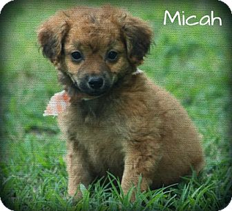 Maltese/Yorkie, Yorkshire Terrier Mix Puppy for adoption in Brattleboro, Vermont - Micah
