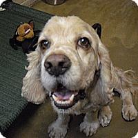 Adopt A Pet :: Gunner - Wickenburg, AZ
