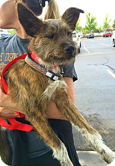 Cairn Terrier/Schnauzer (Miniature) Mix Dog for adoption in Boulder, Colorado - Rocky