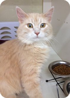 Domestic Mediumhair Cat for adoption in Troy, Ohio - Riviera