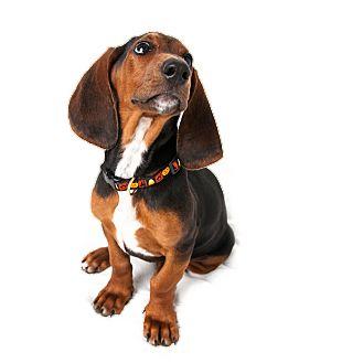 Doberman Pinscher/Basset Hound Mix Puppy for adoption in Wilmington, Delaware - Kerrigan