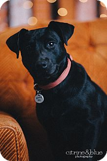 Labrador Retriever Mix Puppy for adoption in Portland, Oregon - Luna