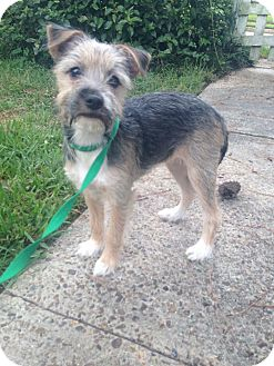 Terrier (Unknown Type, Small) Mix Puppy for adoption in Middletown, Rhode Island - Katniss