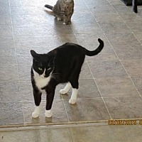 Domestic Shorthair Cat for adoption in Coos Bay, Oregon - Jazz