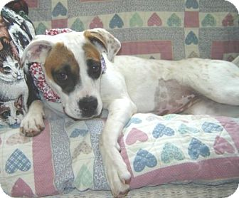 Boxer Mix Dog for adoption in Newburgh, Indiana - BEAUTY!
