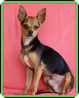 Chihuahua/Terrier (Unknown Type, Small) Mix Dog for adoption in Edmonton, Alberta - Spider