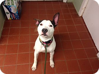 American Staffordshire Terrier Mix Dog for adoption in Long Beach, New York - Minnie