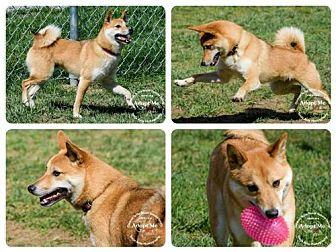 Shiba Inu Dog for adoption in Batavia, Ohio - Stormy