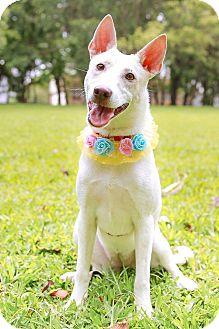Labrador Retriever Mix Puppy for adoption in Castro Valley, California - Miranda
