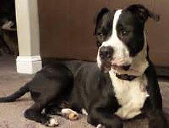 Boxer/Pit Bull Terrier Mix Dog for adoption in Dallas, Texas - Apollo