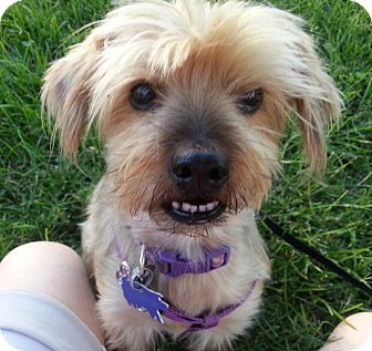 Silky Terrier Mix Dog for adoption in San Francisco, California - Sissy
