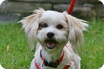 Shih Tzu/Maltese Mix Dog for adoption in Carlsbad, California - Julie