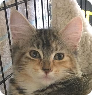 Domestic Longhair Kitten for adoption in Winchester, California - Rosalee