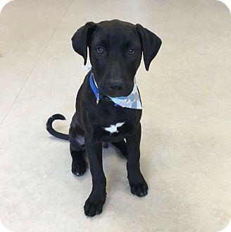 Hound (Unknown Type) Mix Puppy for adoption in DeForest, Wisconsin - Timmy
