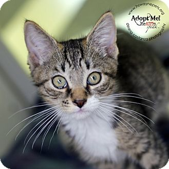 Domestic Shorthair Kitten for adoption in Lyons, New York - Spicey