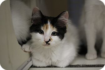 Domestic Shorthair Kitten for adoption in Richmond, Virginia - Ava