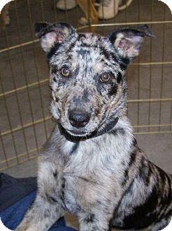 Catahoula Leopard Dog Mix Dog for adoption in Lafayette, Louisiana - Charlie