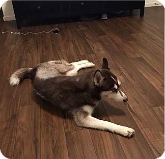 Siberian Husky Dog for adoption in Las Vegas, Nevada - Delilah