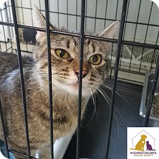 American Bobtail Cat for adoption in Eighty Four, Pennsylvania - April