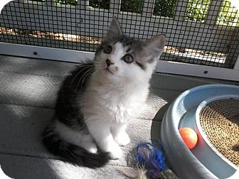 Domestic Mediumhair Kitten for adoption in Arlington, Virginia - Gem -Adoption Pending