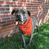 Adopt A Pet :: Harley - Lexington, NC