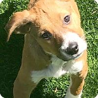 Adopt A Pet :: Cooper-ADOPTION PENDING - Boulder, CO