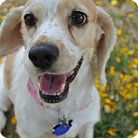 Adopt A Pet :: Piper - Sherman Oaks, CA