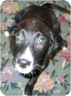 Border Collie/Shepherd (Unknown Type) Mix Puppy for adoption in Sacramento, California - Collie!