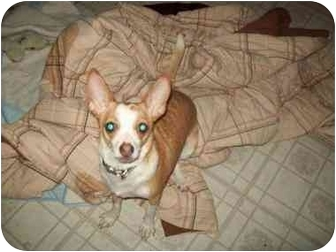 Chihuahua/Rat Terrier Mix Puppy for adoption in Crown Point, Indiana - Finnley