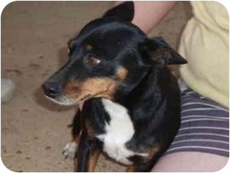 Miniature Pinscher/Chihuahua Mix Dog for adoption in Braintree, Massachusetts - Megan