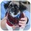 Photo 1 - Shih Tzu/Chihuahua Mix Puppy for adoption in Paragould, Arkansas - BooBoo